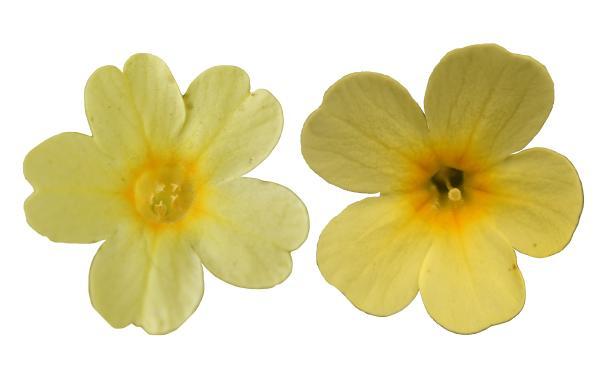 Fleur de primula